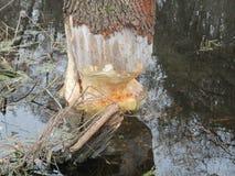 Beavers gnaw on wood take 5 Royalty Free Stock Image