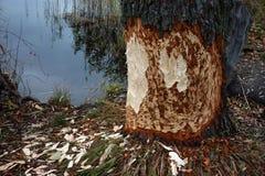 Beavers gnaw on wood take 6 Stock Photos