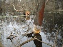 Beavers gnaw on wood Stock Photo