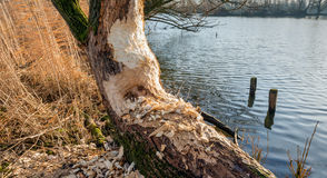 Beavers gnawed a half tree trunk at the river bank royalty free stock image