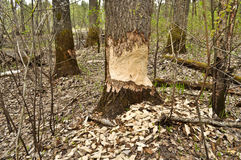 Beavers have recently nibbled trees. Royalty Free Stock Photography