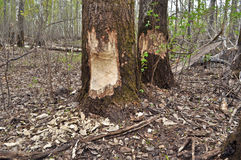 Beavers have recently nibbled trees. Stock Photos
