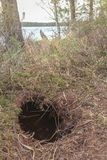 Beavers hole on forest lake royalty free stock photography
