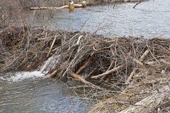 Beavers la presa de ramitas foto de archivo libre de regalías