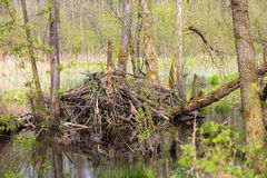 Beavers lodge in springtime Royalty Free Stock Photography