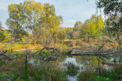 Beavers pool - flooded forest - swamp Royalty Free Stock Photos