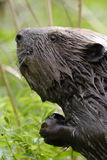 Beavers Portrait stockfotografie