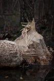 Beavers work Royalty Free Stock Photography