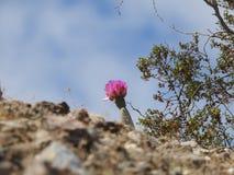 Beavertail仙人掌花 图库摄影