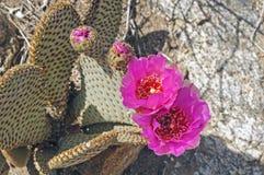 Beavertail Cactus in the Desert Stock Photos