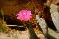 Beavertail cactus flower Stock Photo