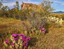 Beavertail Cactus Royalty Free Stock Image
