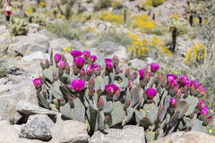 Beavertail Cactus and Wildflowers blooming in Anza-Borrego State Royalty Free Stock Image