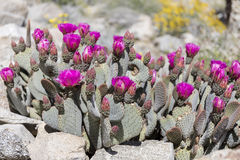 Beavertail Cactus and Wildflowers blooming in Anza-Borrego State Stock Image