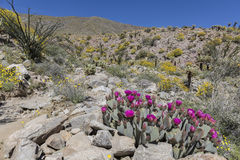 Beavertail Cactus and Wildflowers blooming in Anza-Borrego State Royalty Free Stock Photos