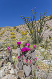 Beavertail Cactus and Wildflowers blooming in Anza-Borrego State Royalty Free Stock Images