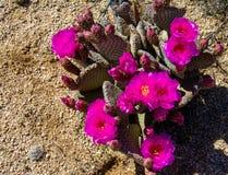 Beavertail wiosny Kaktusowy kwiat zdjęcia stock
