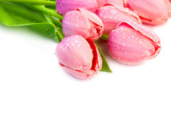 Beaytiful郁金香开花与Waterdrops -在whi的假日边界 免版税库存图片