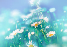 Beaytiful雏菊在有由后面照的春天 免版税库存照片