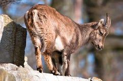 Bebé alpestre lindo del cabra montés fotos de archivo libres de regalías
