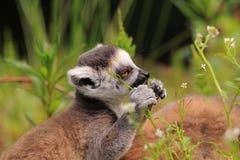 Bebé atado anillo del lemur fotografía de archivo