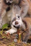 Bebé atado anillo del lemur foto de archivo