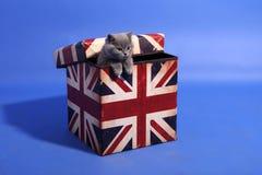 Bebé británico del shorthair Imagenes de archivo