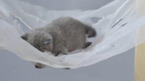 Bebé británico del shorthair en una hamaca almacen de video