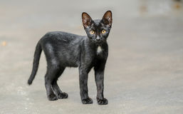 Bebé Cat Standing On The Floor negra Imagenes de archivo