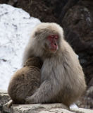 Bebé de abrazo del mono de la nieve de la mamá soñolienta Fotografía de archivo libre de regalías