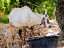 Bebé de alimentación del oryx árabe Fotos de archivo libres de regalías