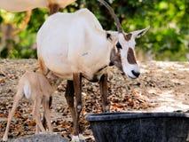 Bebé de alimentación del oryx árabe en parque zoológico Fotos de archivo