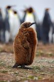 Bebé de Brown del pingüino de rey en la colonia, Océano Atlántico en Falkland Island, pájaro de mar de la costa en el hábitat de  Fotos de archivo
