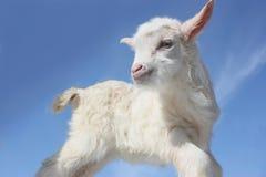 Bebé de la cabra Fotografía de archivo libre de regalías