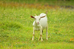 Bebé de la cabra Imagen de archivo