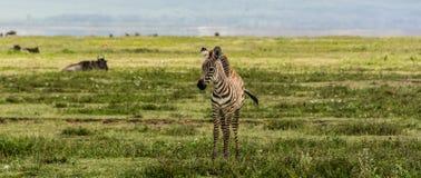 Bebé de la cebra en el cráter de Ngorogoro Fotos de archivo
