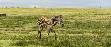 Bebé de la cebra en el cráter de Ngorogoro Fotografía de archivo libre de regalías