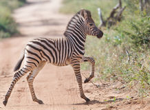 Bebé de la cebra que cruza el camino Foto de archivo libre de regalías