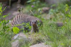 Bebé de la mangosta Foto de archivo