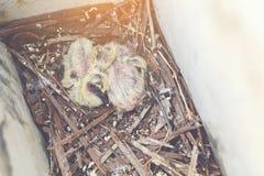Bebé de la paloma Foto de archivo libre de regalías