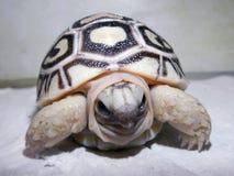 Bebé de la tortuga del leopardo Fotos de archivo libres de regalías