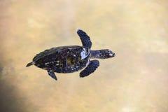 Bebé de la tortuga de Hawksbill pequeño 2-3 meses - natación de la tortuga de mar en la charca de agua en la granja fotografía de archivo libre de regalías
