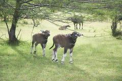 Bebé de la vaca Fotos de archivo