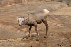 Bebé de las ovejas de Bighorn Imagenes de archivo