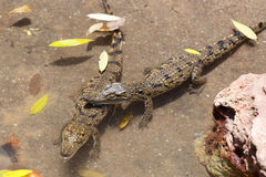 Bebé de Nile Crocodile Imágenes de archivo libres de regalías