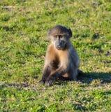 Bebé del babuino de Chacma Imagenes de archivo