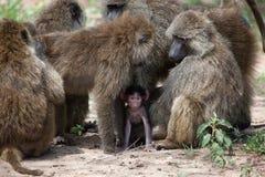 Bebé del babuino protegido por el grupo de babuinos adultos Fotografía de archivo