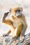 Bebé del babuino que rasguña su oído con su pie Foto de archivo