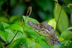Bebé del caimán con gafas, agua imagenes de archivo