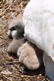 Bebé del cisne Fotos de archivo